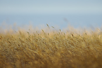 Late Summer Grasses ~ Plant  picture from cortes island Canada.