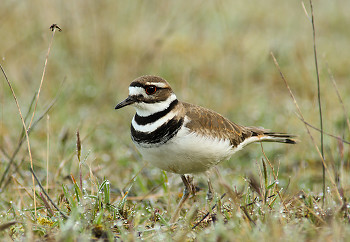 Killdeer ~ Plover picture from Cortes Island Canada.