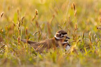 Mother Killdeer ~ Plover picture from Cortes Island Canada.