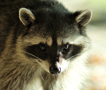 Northern  Raccoon ~ Raccoon picture from Cortes Island Canada.