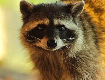 Raccoon Portrait II ~ Raccoon picture from Cortes Island Canada.