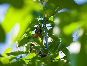 Turdus migratorius ~ Robin picture from Cortes Island Canada.
