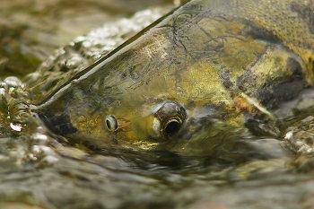 Chum Salmon Portrait ~ Salmon picture from Cortes Island Canada.