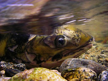 Chum Salmon ~ Salmon picture from Cortes Island Canada.