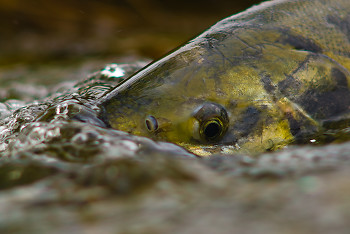 Portrait of a Chum Salmon in Basil Brook ~ Salmon picture from Cortes Island Canada.
