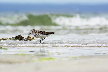 Western Sandpiper ~ Sandpiper picture from Cortes Island Canada.