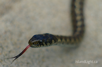 Garter snake ~ Snake picture from Cortes Island Canada.