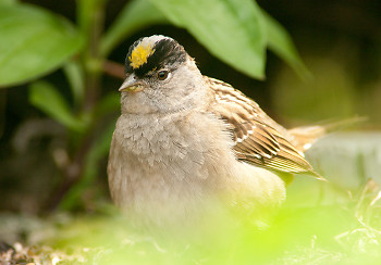 Golden Crowned Sparrow ~ Sparrow picture from Cortes Island Canada.