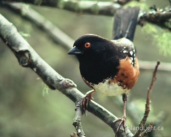Spotted Towhee Portrait ~ Sparrow picture from Cortes Island Canada.