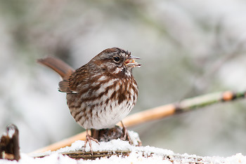Song Sparrow ~ Sparrow picture from Cortes Island Canada.