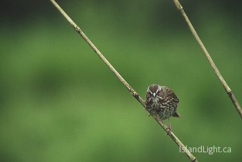Inspector Song Sparrow ~ Sparrow picture from Cortes Island Canada.