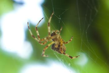 Araneus diadematus ~ Spider picture from Cortes Island Canada.