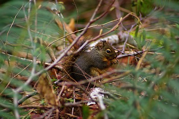 Douglas Squirrel ~ Squirrel picture from Cortes Island Canada.