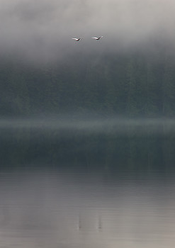 Trumpeter Swans ~ Swan picture from Cortes Island Canada.
