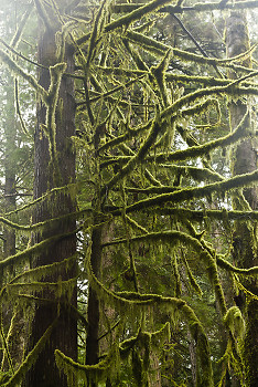 Moss Covered Branches ~ Temperate Rain Forest picture from Cortes Island Canada.