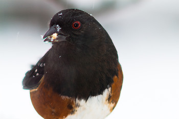 Pipilo maculatus ~ Towhee picture from Cortes Island Canada.