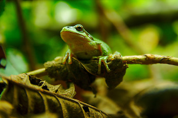 Perched Pacific Tree Frog ~ Tree Frog picture from Cortes Island Canada.