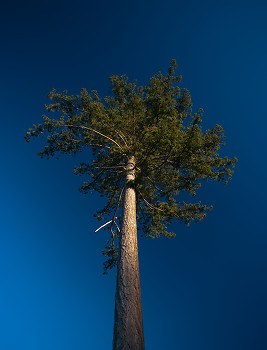 Tall Fir ~ Tree picture from Cortes Island Canada.