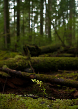 New growth ~ Tree picture from Cortes Island Canada.