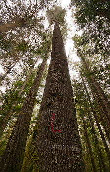 Marked ~ Tree picture from Cortes Island Canada.