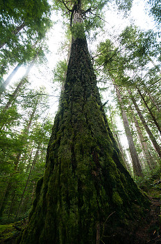 Tree picture from Cortes Island Canada.
