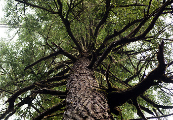 Branches ~ Tree picture from Cortes Island Canada.