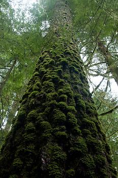 Pseudotsuga menziesii ~ Tree picture from Cortes Island Canada.