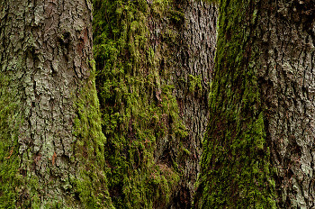 Three Giants ~ Tree picture from Cortes Island Canada.