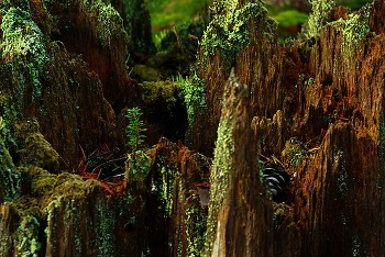 Young Tree, Old Forest ~ Tree picture from Cortes Island Canada.