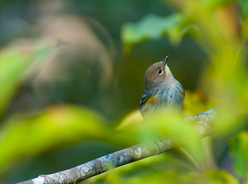 Yellow-rumped Warbler ~ Warbler picture from Cortes Island Canada.