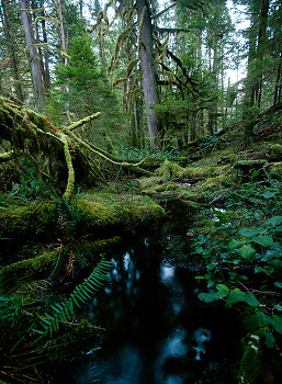 Grandfather Grove ~ Wetland picture from Cortes Island Canada.