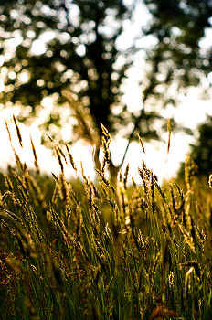 Grass ~ Wild Grass picture from Cortes Island Canada.
