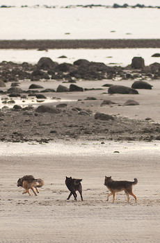 Gray Wolves Running on the Beach ~ Wolf picture from Cortes Island Canada.