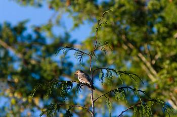 Flicker ~ Woodpecker picture from Cortes Island Canada.