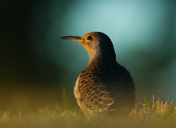 Northern Flicker Portrait ~ Woodpecker picture from Cortes Island Canada.
