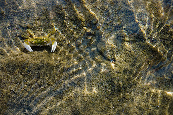 Shore Crab ~ Crab picture from Cortes Island Canada.