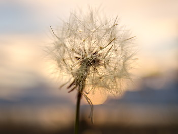Dandelion Seeds on a Windless Evening ~ Dandelion picture from Cortes Island Canada.