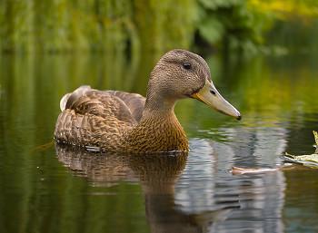 Portrait of a Female Mallard ~ Duck picture from Vancouver Canada.