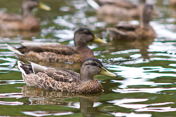 Anas platyrhynchos ~ Duck picture from Vancouver Canada.