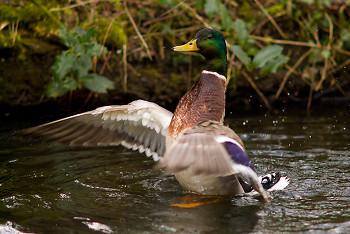 Mallard Duck ~ Duck picture from Amsterdam Netherlands.