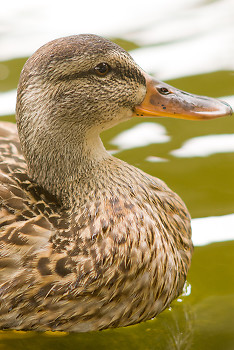 Mallard ~ Duck picture from Vancouver Canada.