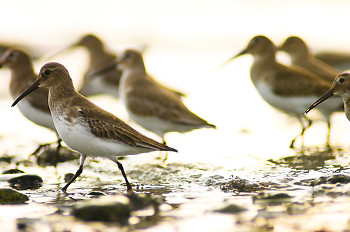 Walking in the Light ~ Dunlin picture from Cortes Island Canada.