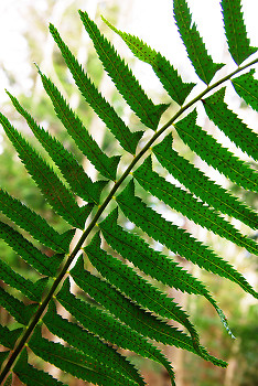 Fern frond ~ Fern picture from Cortes Island Canada.