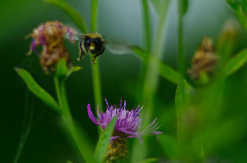 Bee departure ~ Flower picture from Aillevillers France.