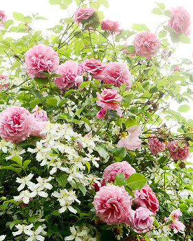 Roses Roses ~ Flower picture from Cortes Island Canada.