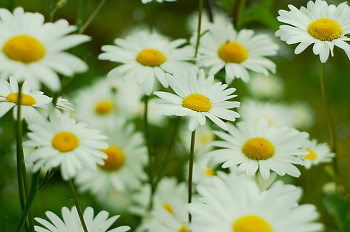 Field of Daisies ~ Flower picture from Cortes Island Canada.