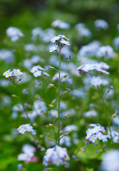 Forget Me Not ~ Flower picture from Vancouver Canada.