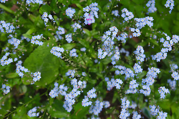 many Little Forget-Me-Nots ~ Flower picture from Vancouver Canada.