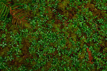 Forest Carpet ~ Forest Floor picture from Cortes Island Canada.