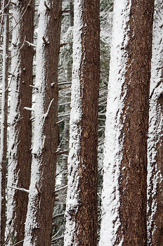 Snow On Fir Trunks ~ Forest picture from Cortes Island Canada.